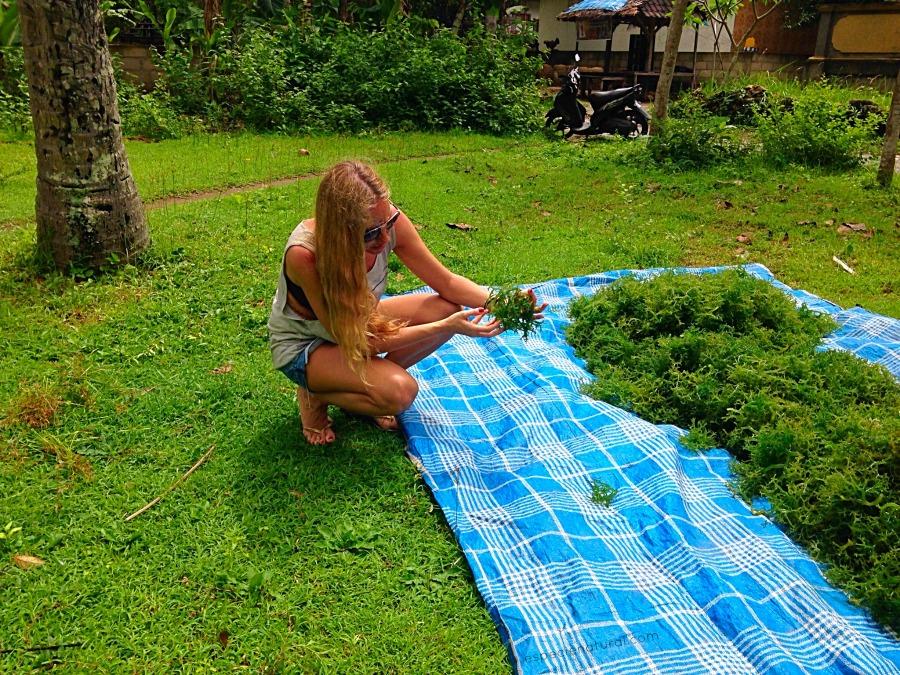 Cultivo de algas en Nusa Lembongan